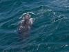 Baleine franche australe