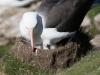 Albatros Sourcil noir