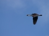 Cormoran antarctique