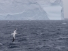 Albatros géant