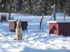 Chien de traîneau au Yukon
